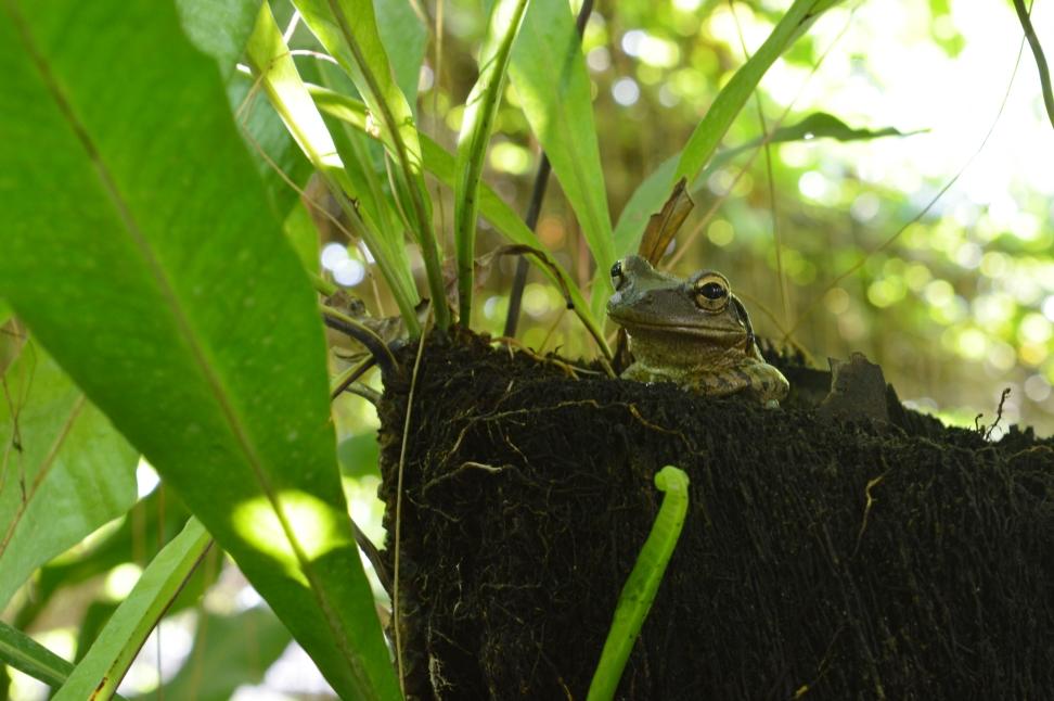Frog in Jardin de los Helechos, Santiago de Cuba, Cuba.jpg
