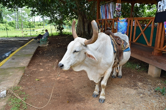 Cow at Hotel Los Jazmines, Vinales, Cuba
